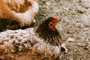 الدجاج البياض
